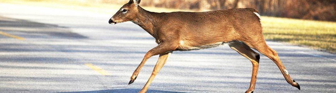 It's Deer Season!  Use caution on the road..